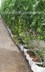 La produccion de tomate en cultivos hidropónicos es una buena opción en ambientes con difíciles condiciones ambientales.