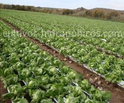 Los cultivos hidropónicos brindan la oportunidad de incrementar la producción.