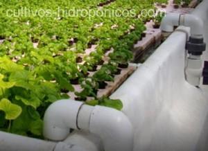 Los cultivos hidropónicos, permiten la producción sin necesidad del suelo.
