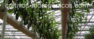 Los cultivos hidropónicos hacen posible cultivar en zonas donde los suelos son poco productivos.