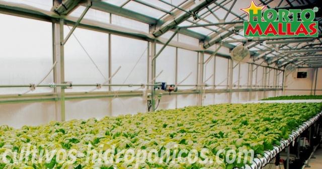 hortalizas hidroponicas
