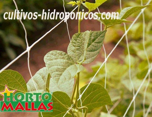 malla tutora en cultivo de pepinos